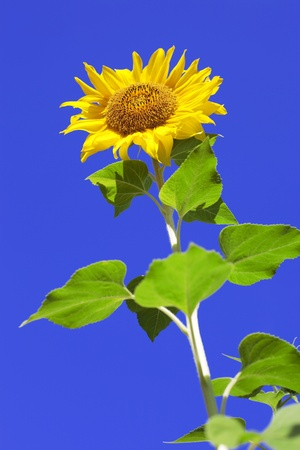 The image of a sunflowers on background sky photo