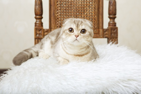 The image of a cat sitting on a beautiful vintage chair photo