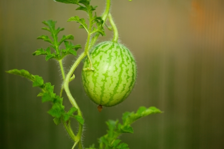 Growing small green striped watermelon photo