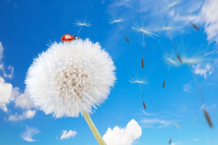 Ladybug on a dandelion on a background of the sky photo