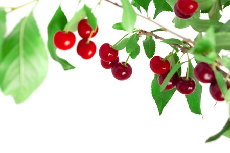 Juicy cherries on a branch Stock Photo