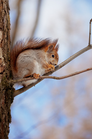 Red Squirrel on a tree branch photo