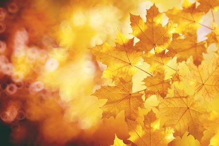 otoño: Caída, otoño, hojas de backgroung. Una rama de un árbol con hojas de otoño de un arce sobre un fondo borroso