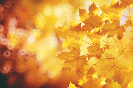 Fall, autumn, leaves backgroung. A tree branch with autumn leaves of a maple on a blurred background Standard-Bild