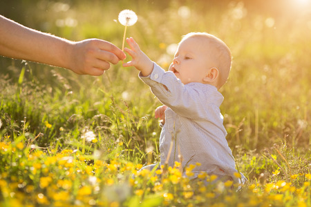 dandelion wind: Adult hand holds baby dandelion at sunset Kid sitting in a meadow Child in field Concept of protection Allergic to flowers pollen Allergy Backlit Sun Light Autumn Glow Sunshine Learning new Education