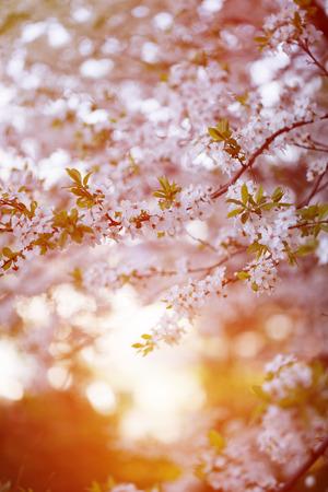 arbol de cerezo: La floración de árboles de primavera. Puesta de sol en primavera o verano de fondo del paisaje. Primavera. Summertime. Alérgica al polen de las flores. Alergia a la primavera