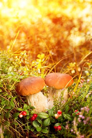 hongo: Caída, otoño, hojas de antecedentes. Setas y bayas en el bosque, bosque con hojas de otoño sobre un fondo borroso. Paisaje en la temporada de otoño