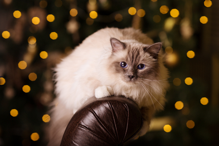 new year cat: Cat. Christmans party, winter holidays cat with gift box. New year cat. christmas tree in interior background.