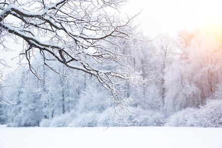 winter trees: Winter trees in wonderland.