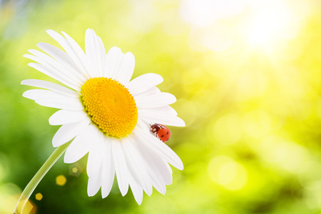 against the sun: Ladybug is sitting on camomile against sun. Stock Photo
