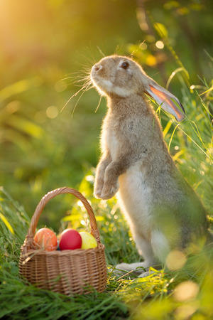 Easter bunny with a basket of eggs. Happy Easter Bunny on a card on their hind legs with flowers at sunset. Cute hare