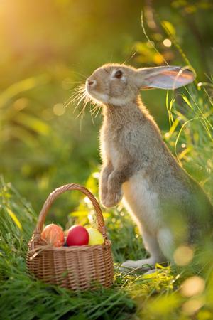 Conejito de Pascua con una canasta de huevos. Conejo de Pascua feliz en una tarjeta en sus patas traseras con flores al atardecer. Liebre linda Foto de archivo