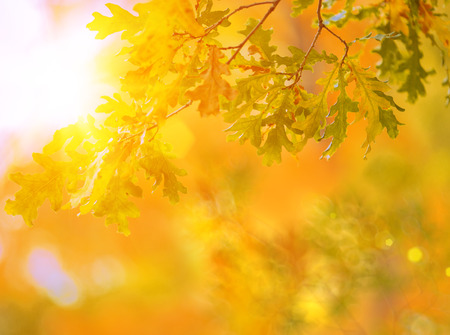 tree branch: Fall, autumn, leaves background. A tree branch with leaves of a maple on a blurred background. Landscape in autumn season Stock Photo