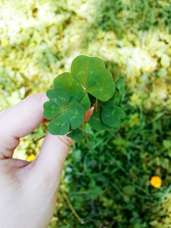 Four leaf clover. Stock Photo