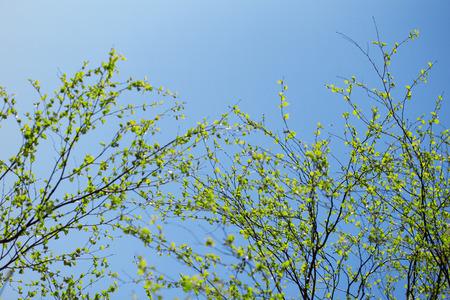 First spring fresh leaves. Blooming landscape, background in springtime or summertime.