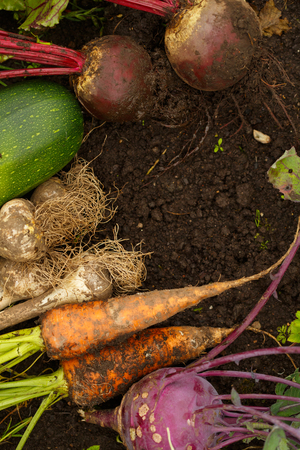 Harvest of fresh vegetables on the ground, in garden background. Top view. Garlic, beetroot, zucchini, kohlrabi, cauliflower Stock Photo