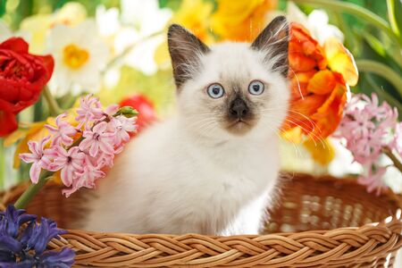 Thai cat in spring flowers