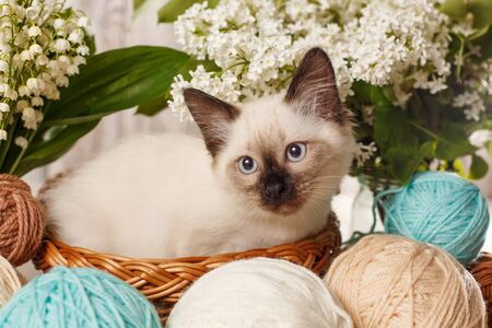 Thai cat in yarn and balls. Cozy photo.