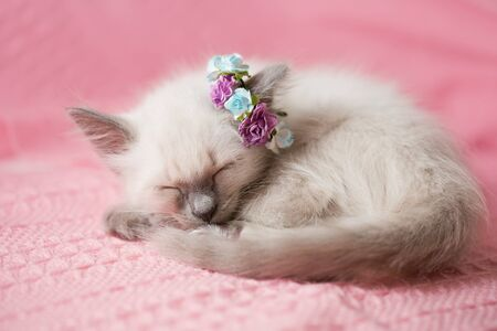 Cozy baby kitten with flowers on a pink background. Sleeping sweet cat. Greeting card for a birthday, mother's day or March 8th.