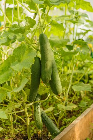 Cucumbers grow on a bed in a greenhouse on a farm. Autumn harvest of fresh vegetables without GMOs in agriculture.