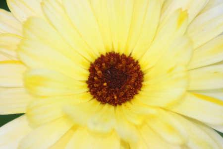 honing: gele bloem in de zomer Stock Photo