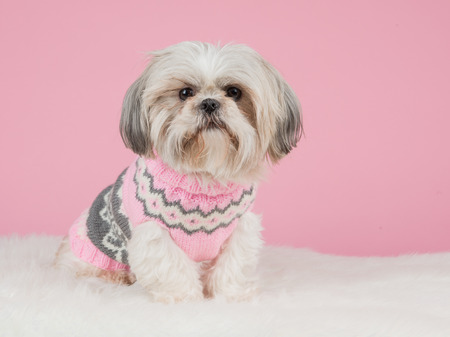 Cute shih tzu dog dressed in a pink knitted sweater at a pink background Stockfoto