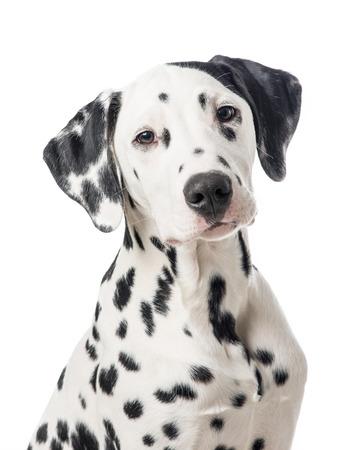 Dalmatian dog portrait on a white background 版權商用圖片