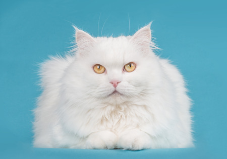 Pretty persian white longhaired cat on a blue background