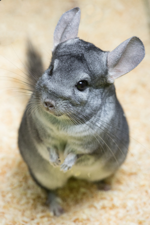 Chinchilla rodent looking up Stockfoto