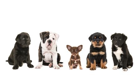 ロットワイラーとボーダーコリーの子犬白背景、黒のラブラドール、英語ブルドッグ、チワワに分離された品種子犬犬 写真素材 - 49195092