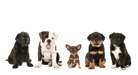 cute dogs: Different breeds puppy dogs isolated on a white background, black labrador, english bulldog, chihuahua, rottweiler and border collie puppy