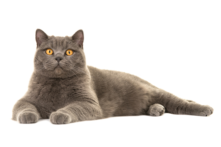 Pretty gray british shorthair cat lying down isolated on a white background