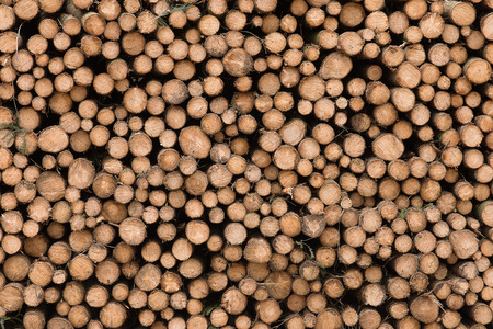 huge tree: Huge pile of chopped down tree trunks as a background