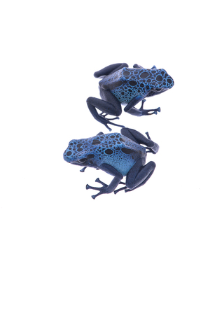 poison dart frogs: Two blue poison dart frogs sitting next to each other isolated on a white background