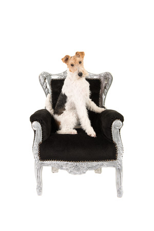 black fox: Adult wire fox terrier sitting a a black baroque chair isolated on a white background