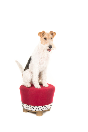 Wire fox terrier sitting on a crown like stool isolated on a white background