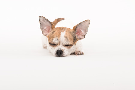 cane chihuahua: Sleeping chihuahua dog lying on the floor in a soft off-white surrounding Archivio Fotografico