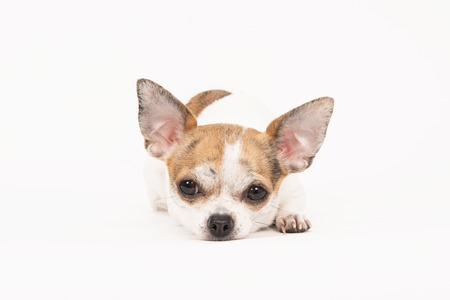 lying down on floor: Chihuahua lying down with head on the floor in a off-white surrounding