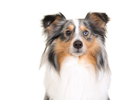 blue eye: Horizontal portrait of a shetland sheepdog with one blue eye and one brown eye on a white background Stock Photo