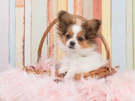 colores pastel: cachorro de perro de la mariposa linda en una cesta de mimbre con colores pastel suaves en el fondo