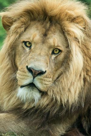 male lion: Close up of a male lion portrait facing the camera