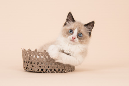 Cute ragdoll baby cat with blue eyes facing the camera sitting in a brown lace basket on a soft background