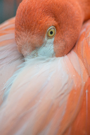 long legged: Close up of a flamingo bird hiding its head under its feather Stock Photo