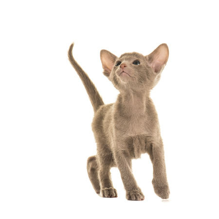 blue siamese cat: Cute little blue grey siamese baby cat walking and looking up isolated on a white background