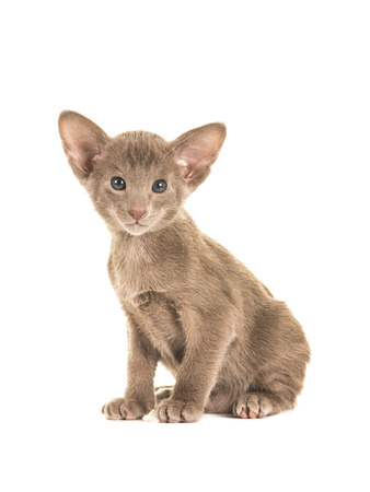 oriental white cat: Cute sitting grey blue sitting oriental shorthair baby cat kitten with blue eyes facing the camera isolated on a white background
