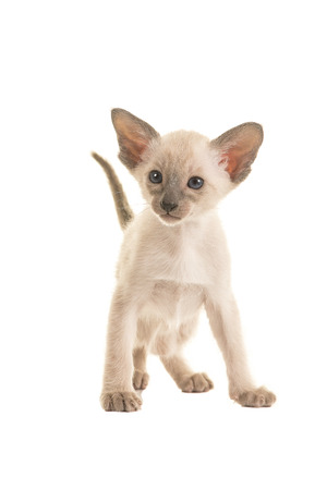 blue siamese cat: Cute standing seal point siamese baby cat kitten with blue eyes and tail up standing looking to the left isolated on a white background