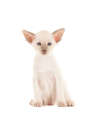 blue siamese cat: Cute sitting seal point siamese baby cat kitten with blue eyes facing the camera isolated on a white background