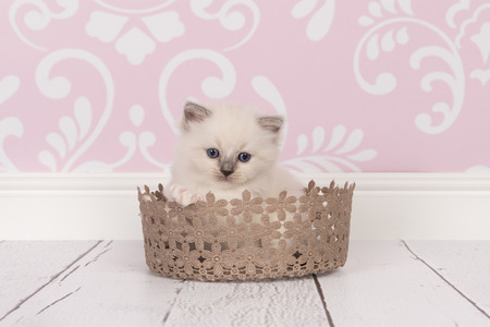 ragdoll: Ragdoll baby cat kitten with blue eyes in a lace brown basket in a living room environment