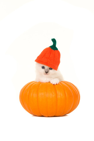 ragdoll: Cute ragdoll baby cat in an orange pumpkin and a pumpkin hat isolated on a white background