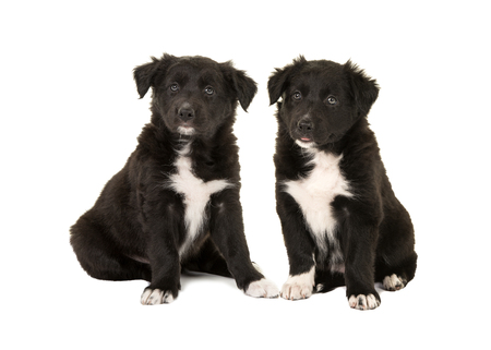 border collie puppy: Two cute black and white border collie puppy dogs sitting facing the camera isolated on a white background